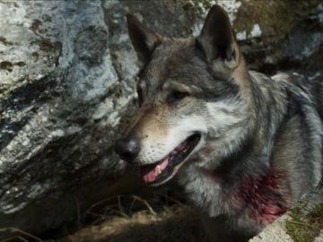 Herido y cara a cara con un lobo: ¿tiene posibilidades de sobrevivir?