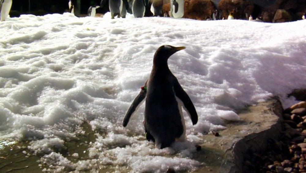 Pingüino Mascoteros
